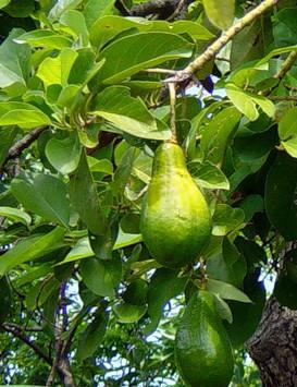 Так растет авокадо.
